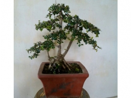 Cây bonsai mini 3