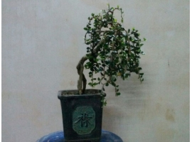Cây bonsai mini 6