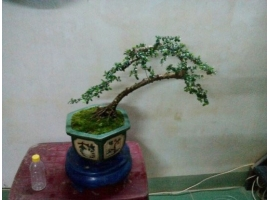 Cây bonsai mini 1